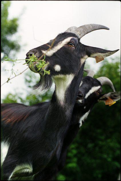 Chèvre poitevine