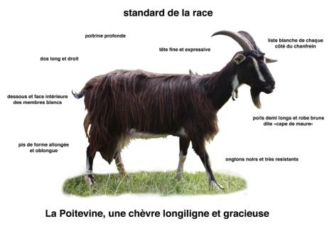 Race Poitevine